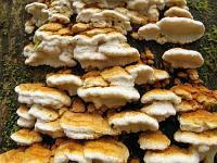 Антродия рядовая (Antrodia serialis)Фото с сайта Удивительный мир грибов Татьяны Светловой