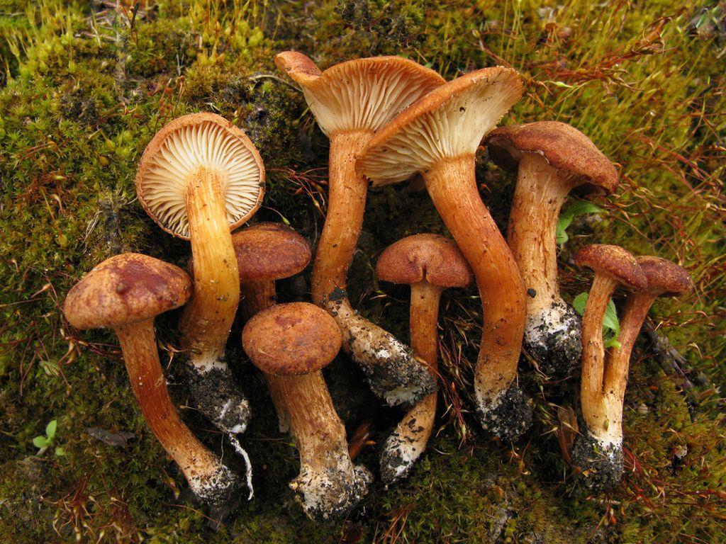 Говорушка синопская (Clitocybe sinopica). Автор фото: Станислав Кривошеев