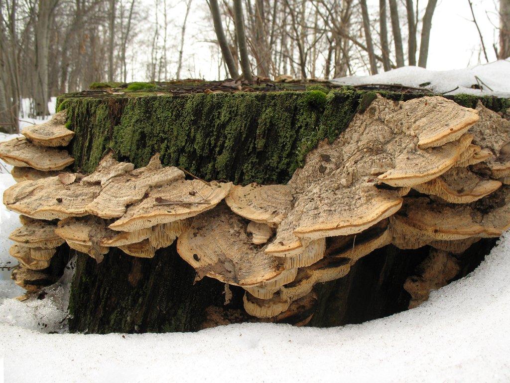 Губка дубовая (Daedalea quercina). Автор фото:Станислав Кривошеев