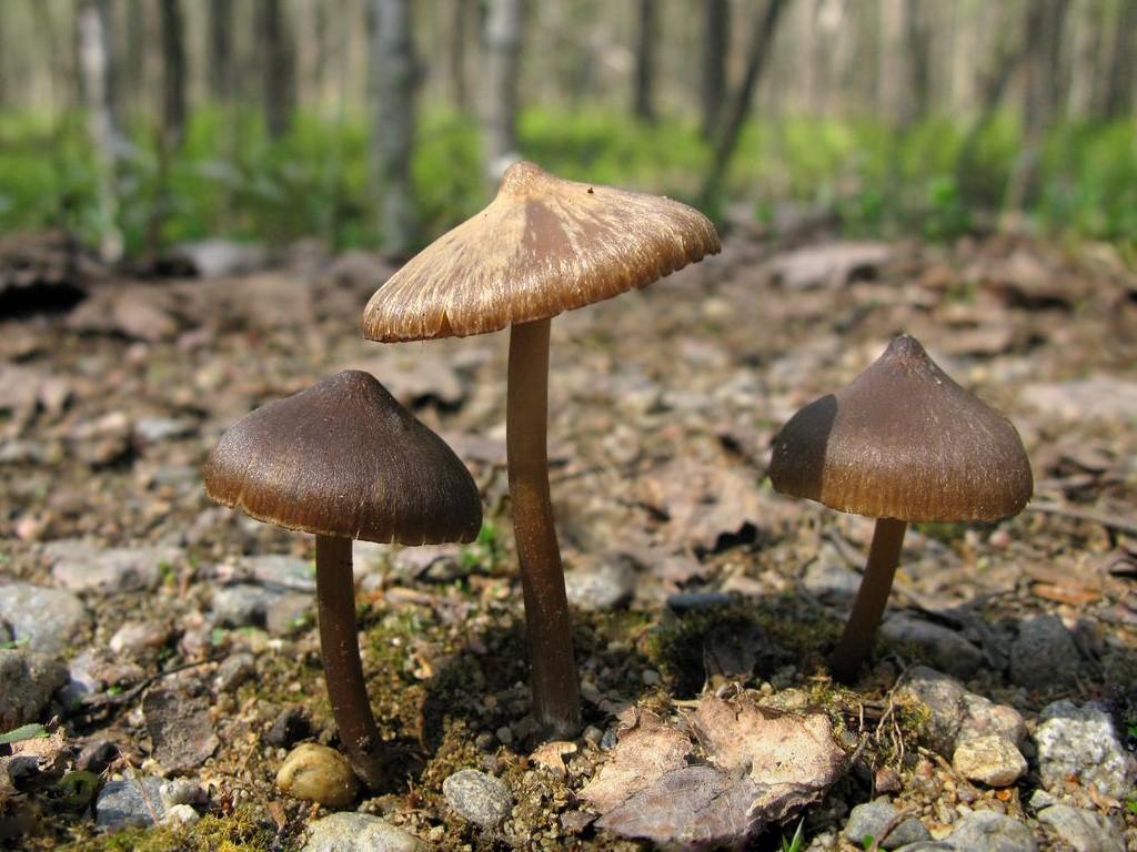 Энтолома весенняя (Entoloma vernum). Автор фото:Станислав Кривошеев
