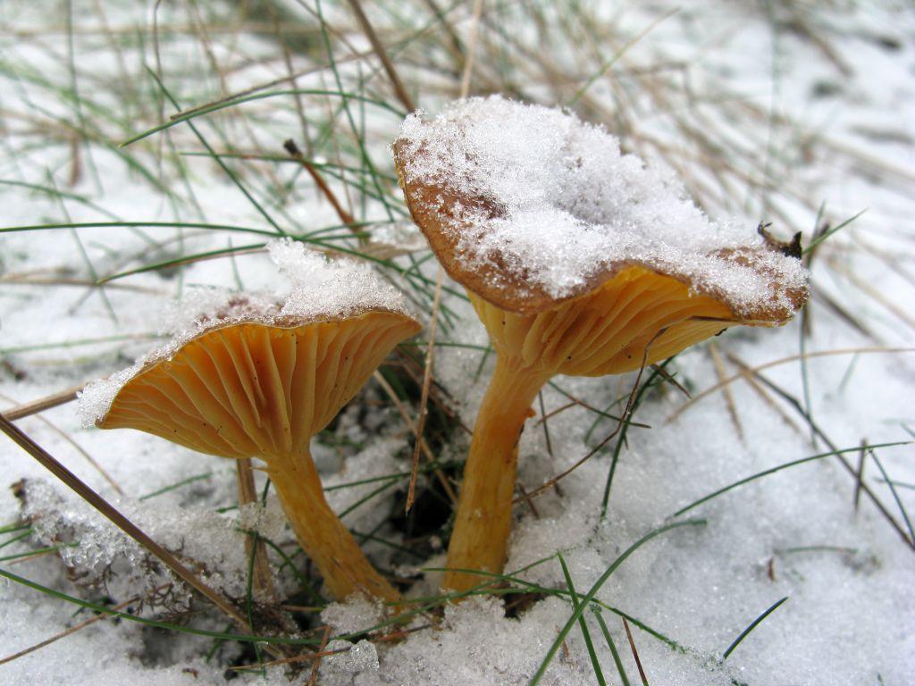 Гигрофор поздний (Hygrophorus hypothejus) Автор фото: Станислав Кривошеев
