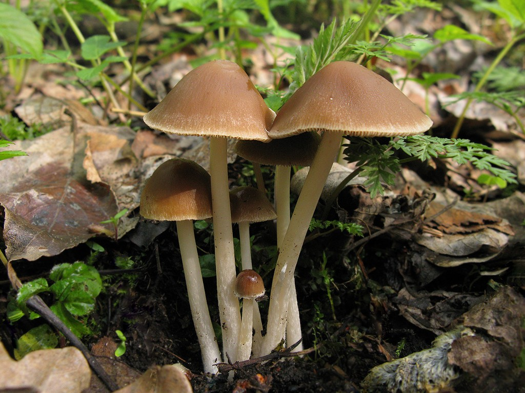 Псатирелла серо-бурая (Psathyrella spadiceogrisea) Автор фото: Станислав Кривошеев