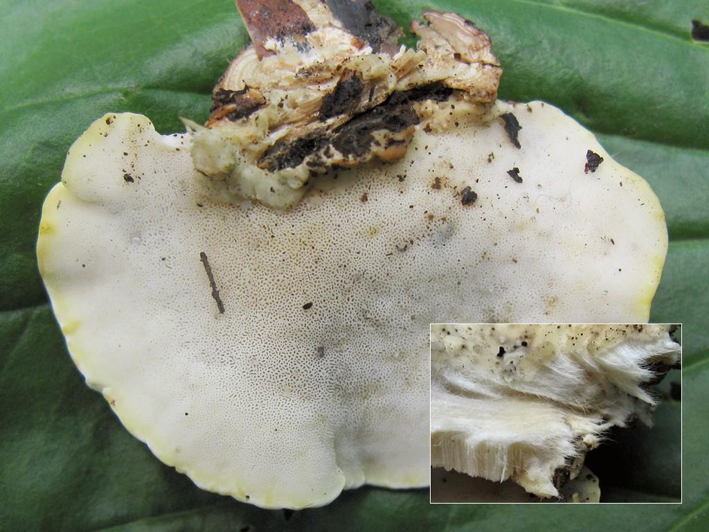 Антродиелла ползучая (Antrodiella serpula) Автор фото: Татьяна Светлова