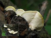 Антродиелла ползучая (Antrodiella serpula)