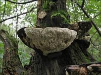 Daedalea quercina - дубовая губка. Фото Татьяны Светловой (Москва), 13 сентября 2008 г.