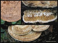 Daedalea quercina - дубовая губка. Фото Татьяны Светловой (Москва)