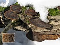Daedaleopsis confragosa - дедалеопсис шершавый. Фото Татьяны Светловой (Москва), 14 марта 2009 г.