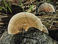 Daedaleopsis septentrionalis - дедалеопсис северный. Фото Владимира Капитонова (Ижевск, Удмуртия), 15 июля 2008 г.
