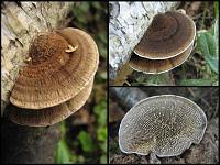 Daedaleopsis septentrionalis - дедалеопсис северный. Фото Татьяны Светловой (Москва), 1 и 11 сентября 2007 г.