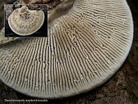 Daedaleopsis septentrionalis – дедалеопсис северный. Фото Татьяны Светловой (Москва)