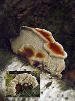 Daedaleopsis tricolor - дедалеопсис трехцветный. Фото Татьяны Светловой (Москва), 27 сентября 2007 г.
