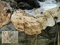 Dichomitus squalens - дихомитус грязноватый. Фото Владимира Капитонова (Ижевск, Удмуртия), 8 января 2009 г.