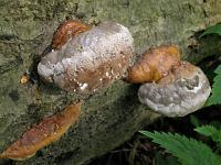 Fomitopsis pinicola - трутовик сосновый (окаймленный трутовик). Фото Татьяны Светловой (Москва), 10 июля 2008 г.