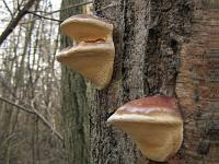 Fomitopsis pinicola - трутовик сосновый (окаймленный трутовик). Фото Татьяны Светловой (Москва), 31 марта 2007 г.