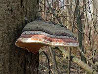 Fomitopsis pinicola - трутовик сосновый (окаймленный трутовик). Фото Татьяны Светловой (Москва), 6 апреля 2008 г.