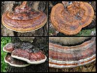 Fomitopsis pinicola – окаймленный трутовик. Авторы фотографий: Алексей Мясников (Москва) и Татьяна Светлова (Москва)