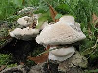 Ganoderma applanatum – трутовик плоский. Фото Татьяны Светловой (Москва), 3 августа 2008 г.