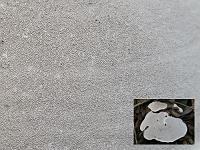 Ganoderma applanatum - трутовик плоский. Фото Татьяны Светловой (Москва)