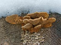 Gloeophyllum sepiarium - глеофиллум заборный (заборный трутовик, заборный гриб). Фото Владимира Капитонова (Ижевск, Удмуртия), 9 марта 2009 г.