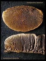 Gloeophyllum sepiarium - заборный трутовик и Gloeophyllum abietinum - глеофиллум пихтовый. Фото Владимира Капитонова (Ижевск, Удмуртия), 5 апреля 2009 г.