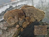 Gloeophyllum trabeum - глеофиллум бревенчатый. Фото Владимира Капитонова (Ижевск, Удмуртия), 9 марта 2009 г.