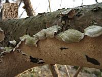 Irpex lacteus - ирпекс молочно-белый. Фото Татьяны Светловой (Москва), 31 марта 2007 г.