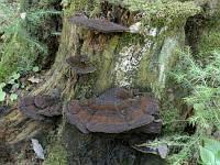 Ischnoderma benzoinum - ишнодерма смолисто-пахучая. Фото Владимира Капитонова (Ижевск, Удмуртия), 28 сентября 2008 г.