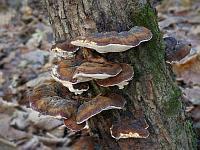 Ischnoderma resinosum - ишнодерма смолистая. Фото Владимира Капитонова (Ижевск, Удмуртия), 27 октября 2008 г.