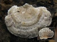 Lenzites betulina - лензитес березовый. Фото Татьяны Светловой (Москва), 4 октября 2009 г.