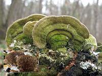 Lenzites betulina - лензитес березовый. Фото Татьяны Светловой (Москва), 31 октября 2009 г.