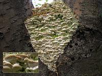 Oxyporus populinus - оксипорус тополевый. Фото Татьяны Светловой (Москва), 9 августа 2009 г.