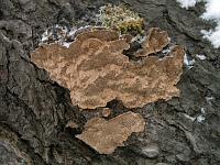 Phellinus chrysoloma – феллинус золотистоокаймленный, еловая губка. Фото Владимира Капитонова (Ижевск, Удмуртия), 6 января 2009 г.