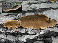 Phellinus conchatus - феллинус раковинообразный. Фото Владимира Капитонова (Ижевск, Удмуртия), 9 октября 2009 г.