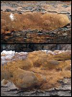 Phellinus hartigii - трутовик Гартига, резупинатные плодовые тела. Фото Алексея Мясникова (Москва), 9 декабря 2008 г.