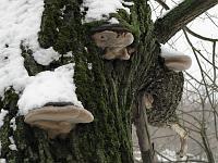Phellinus igniarius - феллинус обожженный, ложный трутовик. Фото Татьяны Светловой (Москва), 9 марта 2009 г.