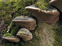 Phellinus nigricans var. alni – ложный черноватый трутовик на валеже лиственной породы. Фото Татьяны Светловой (Москва), 19 апреля 2008 г.