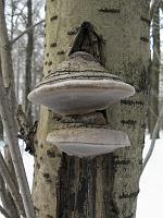 Phellinus nigricans var. alni, f. sorbi – ложный черноватый трутовик на рябине. Фото Татьяны Светловой (Москва), 13 марта 2009 г.