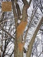 Phellinus punctatus - феллинус точечный. Фото Татьяны Светловой (Москва), 28 января 2007 г.