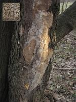 Phellinus punctatus - феллинус точечный. Фото Татьяны Светловой (Москва), 23 марта 2007 г.