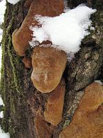 Phellinus robustus - феллинус крепкий, ложный дубовый трутовик. Фото Татьяны Светловой (Москва), 14 февраля 2007 г.