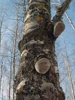 Phellinus tremulae – трутовик ложный осиновый. Фото Владимира Капитонова (Ижевск, Удмуртия), 30 марта 2008 г.