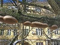 Phellinus tuberculosus – сливовый ложный трутовик. Фото Ирины Ухановой (Ставрополь), 3 марта 2009 г.