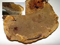 Phellinus nigrolimitatus  (syn. Phellopilus nigrolimitatus ) – феллинус черноограниченный (феллопилус черноограниченный). Фото Андрея Смирнова (Москва), 26 января 2010 г.