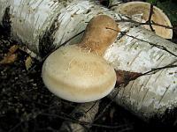 Piptoporus betulinus - пиптопорус березовый (березовая губка). Фото Татьяны Светловой (Москва), 19 августа 2007 г.