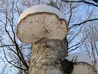 Piptoporus betulinus - пиптопорус березовый (березовая губка). Фото Татьяны Светловой (Москва), 2 февраля 2007 г.