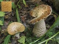 Polyporus squamosus - трутовик чешуйчатый. Фото Татьяны Светловой (Москва), 27 сентября 2007 г.