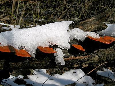 Трутовик киноварно-красный (Pycnoporus cinnabarinus) Автор фото: Станислав Кривошеев
