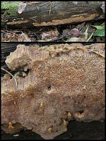 Rigidoporus crocatus - ригидопорус шафранно-желтый. Фото Татьяны Светловой (Москва), 18 октября 2009 г.