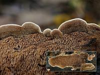 Steccherinum murashkinskyi - стекхеринум Мурашкинского. Фото Владимира Капитонова (Ижевск, Удмуртия), 5 октября 2009 г.