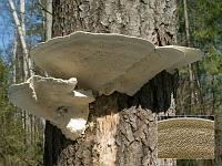 Trametes gibbosa - траметес горбатый (трутовик горбатый). Фото Владимира Капитонова (Ижевск, Удмуртия), 19 апреля 2008 г.